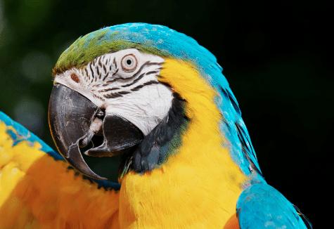 Macaw - Bird