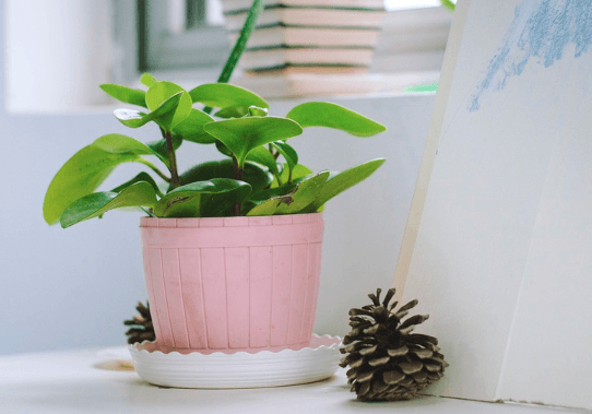 Office Plants | Desk Plants