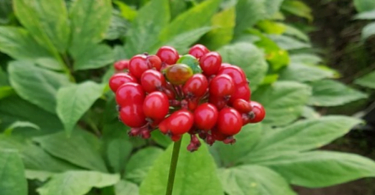 How to Grow Ginseng at Home