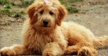 Goldendoodle - Dog breed